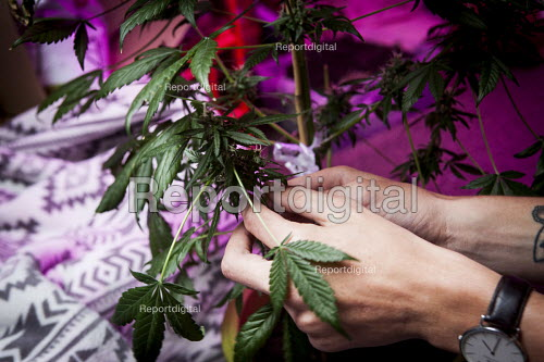 Cannabis users harvesting a crop of home grown Cannabis plants in their home. The plants were grown for personal use. Yorkshire purple LED grow light - Connor Matheson - 2016-08-01