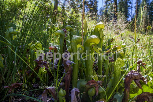 Siskiyou County, California. Carnivorous Darlingtonia californica Torr, California pitcher plant, cobra lily, or cobra plant. Insects enter under its hood and are trapped by slippery sides and downward pointing hairs, eventually falling into fluid inside the plant where they are digested - David Bacon - 2016-08-31