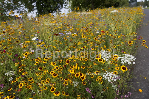 Wildflower boarders sown by Telford and Wrekin Council. Wildflowers reduce spending on floral displays at the side of roads, 150,000 sq ft has been seeded. Shropshire - John Harris - 2017-08-27