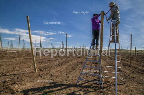 Washington, USA H2A Mexican temporary contract workers stringing up wire supports for planting apple trees in an field owned by Stemilt Growers. The company has trained them to do this skilled work - David Bacon - 2017-05-04