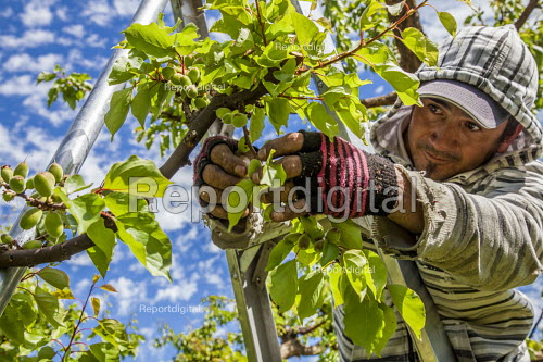 Yakima Valley, Washington, USA Workers thinning out apricots from the bunches on a tree - David Bacon - 2017-05-04