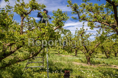 Zillah, Washington, USA Workers thinning out apricots from the bunches on a tree - David Bacon - 2017-05-04