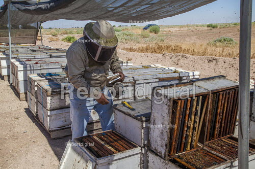 Imperial Valley, California, USA A beekeeper, working with hives south of the Salton Sea. Bees are under stress because of increased salt dust from the receeding waters of the lake - David Bacon - 2017-08-17