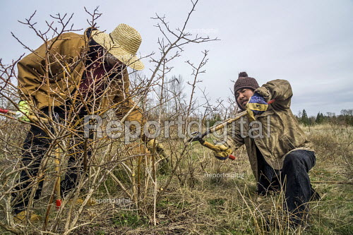 Lynden, USA Ramon Torres and Modesto Hernandez of Familias Unidas por la Justicia pruning blueberry bushes at their new cooperative. Hernandezs feet were amputated after suffering frostbite in a freezing field and he cannot work standing up - David Bacon - 2018-04-03