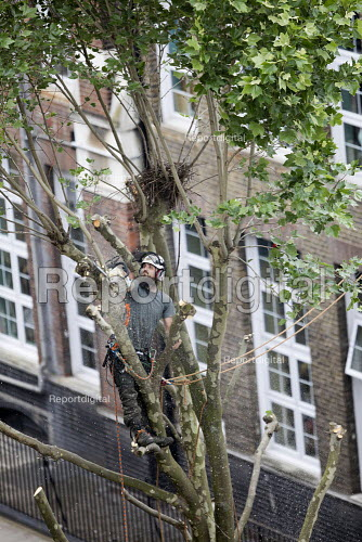 Tree surgeon with harness pruning a London plane tree, common to London they are referred to as the lungs of the city, their unique bark filters polluted air, East London - Jess Hurd - 2018-06-04