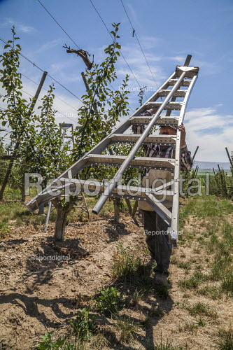 Washington, USA: migrant farm workers tying the branches of young apple trees to wires guiding their growth - David Bacon - 2018-07-16