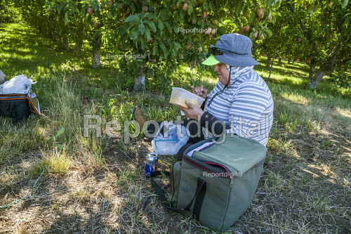 Wenatchee, USA: Farm workers at a nursery for apple seedlings eating lunch in the orchard - David Bacon - 2018-07-19