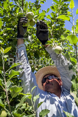 Wenatchee, USA: Farm workers weeding an apple seedlings nursery thining out the crop - David Bacon - 2018-07-19