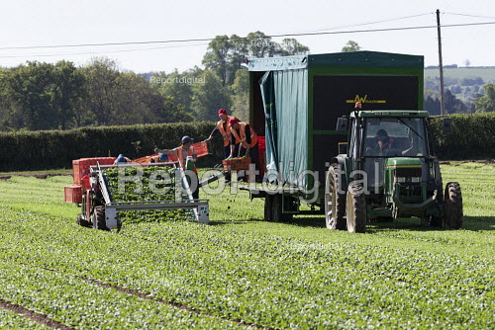 Bulgarian migrant workers harvesting spinach, Warwickshire - John Harris - 2019-04-12