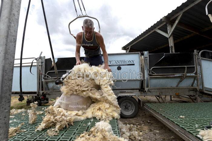Shearing a flock of Ryeland sheep on a small farm in Worcestershire - John Harris - 2019-07-11