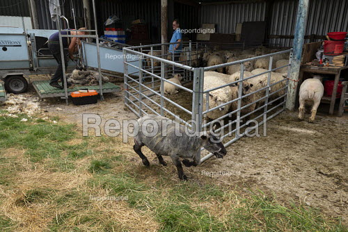 Shearing a flock of Ryeland sheep on a small farm in Worcestershire, Coloured Ryland - John Harris - 2019-07-11