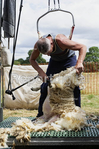 Shearing a flock of Ryeland sheep on a small farm in Worcestershire - John Harris - 2019-07-11