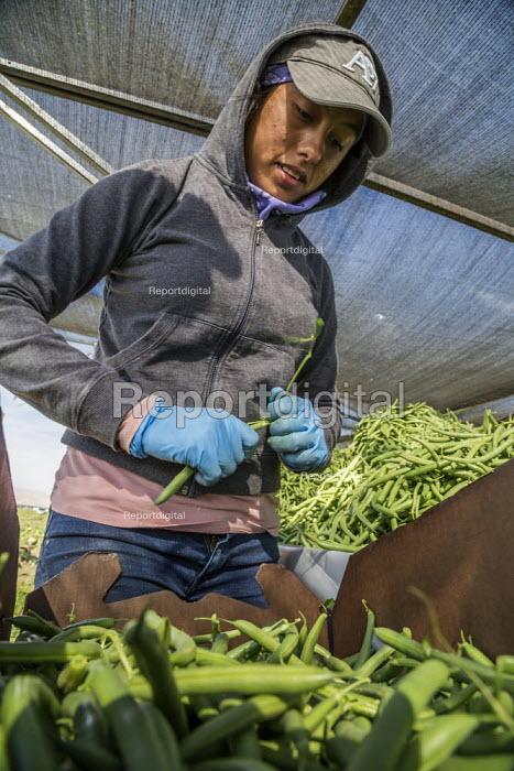 Coachella Valley, California, USA: Farmworkers picking green beans - David Bacon - 2019-11-13