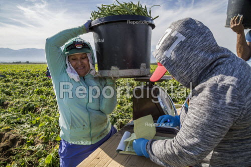 Coachella Valley, California, USA: Farmworkers picking green beans. Checker weighing picked beans - David Bacon - 2019-11-13