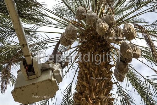 California, USA, Crew of farmworkers picking deglet dates, Coachella Valley. Two pickers work in bucket hoists - David Bacon - 2019-11-14