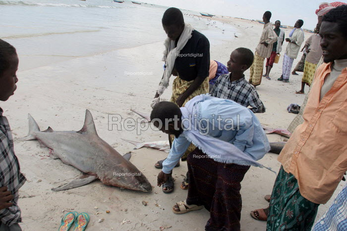 Villagers prepare sharks that they just caught fishing, Haafun, Somalia, January 2005. On the coast of Somalia, the fishing of endangered species of sharks is common as there are no controls or laws of any kind to protect them. Their fins are often sent to Asian countries for making soup. - Boris Heger - 2005-01-19