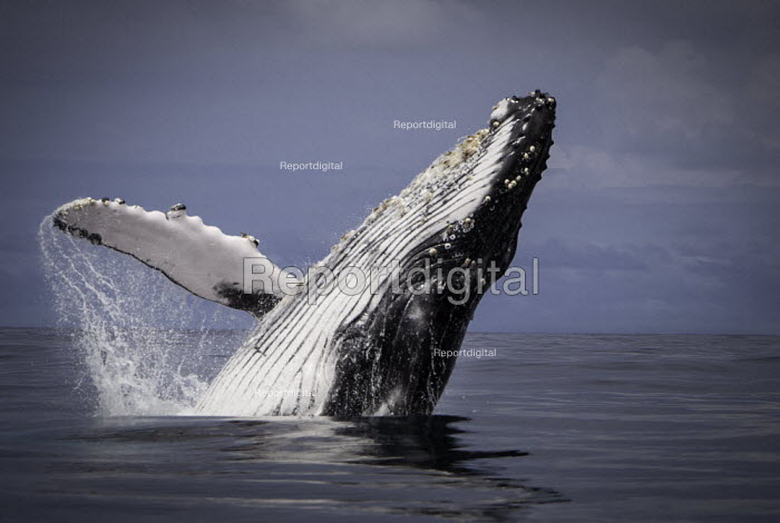 3 months old humpback whale breaching out of the water. Playing before he migrates back south to the pole, Pacific Coast, Choco, Colombia - Boris Heger - 2011-08-10