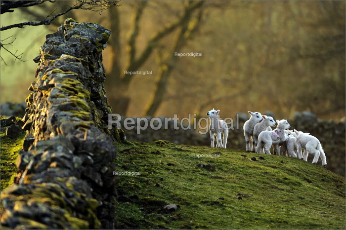 Spring lambs running around at Low Longmire Farm, sheep farming in Cumbria. - Christopher Thomond - 2009-03-31