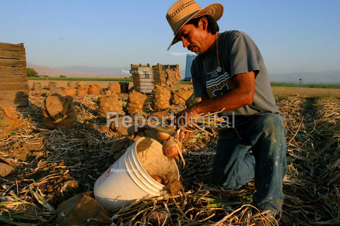Fernando Gonzalez tops and bags onions at sunset. Onion harvesters work in the morning and evening, and don't work during the early afternoon when the heat is unbearable. California USA - David Bacon - 2006-06-09