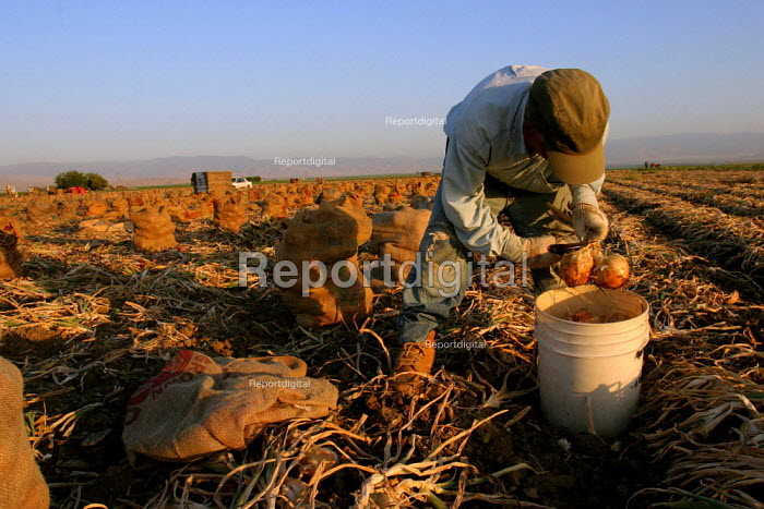 Adolfo Manzo Lopez tops and bags onions at sunset. Manzo is 78 years old, and first came to the US as a bracero in 1950. California USA - David Bacon - 2006-06-09