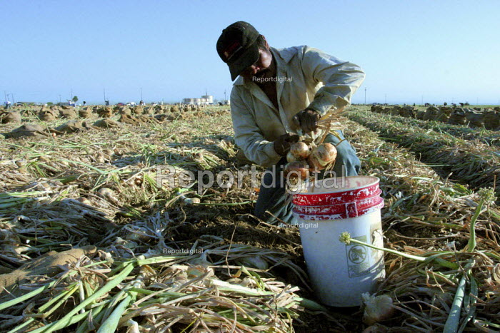An indigenous Nahuatl immigrant from Tehuacan, Puebla, tops onions early in the morning. Onion harvesters work in the morning and evening, and don't work during the early afternoon when the heat is unbearable. California USA - David Bacon - 2006-06-10