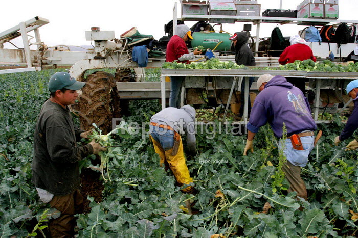 Broccoli cutters, working for labor contractor Nasario Dominguez, in a field in Chualar USA. Many workers in this crew are migrants from Oaxaca and Guerrero. Chualar USA - David Bacon - 2006-08-24