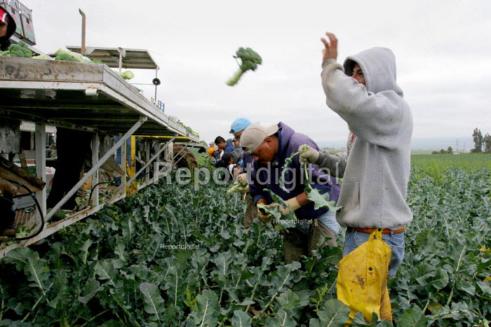 Broccoli cutters, working for labor contractor Nasario Dominguez, in a field in Chualar. Many workers in this crew are migrants from Oaxaca and Guerrero. Chualar USA - David Bacon - 2006-08-24