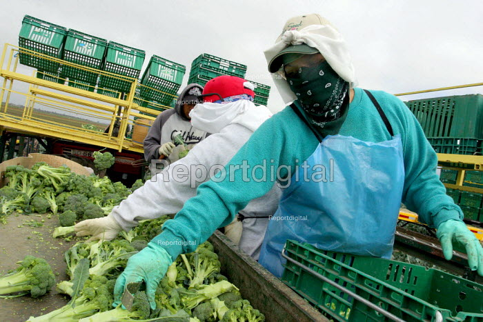 On top of the broccoli machine, pulled behind a tractor, women pack the heads of broccoli cut by the men working below. They wear bandannas around their faces to protect them from breathing dust, and as a shield from the sun. Many workers in this crew are migrants from Oaxaca and Guerrero. Chualar USA - David Bacon - 2006-08-24
