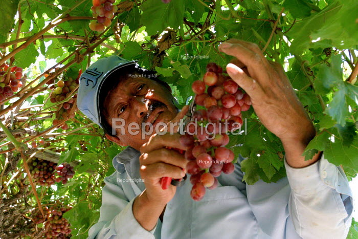 Many of the farm workers picking table grapes in the Coachella Valley are Purepecha immigrants from Ocumichu, a town in the Mexican state of Michoacan. Baldemar Zacarias, picking grapes. California USA - David Bacon - 2006-05-30