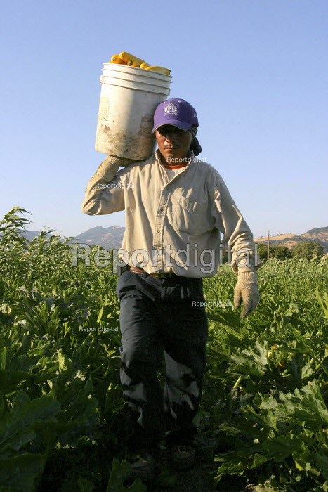 Triqui farm worker from Oaxaca, picks zucchini on a farm just outside of Fairfield. California USA - David Bacon - 2006-09-12