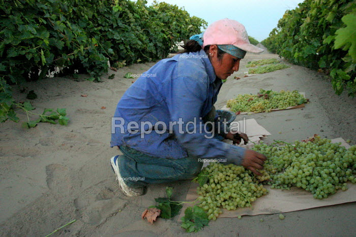 Carmen Pacheco, an migrant farm worker from Oaxaca, begins a day of work picking grapes for raisins near the town of Raisin City, outside of Fresno. California USA - David Bacon - 2006-09-06