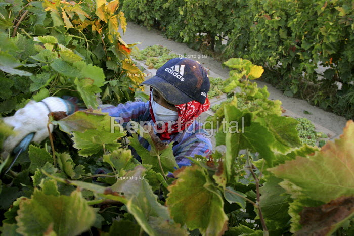 Vaselia Valdez, a farm worker from Urandero, Michoacan, begins a day of work picking grapes for raisins near the town of Raisin City, outside of Fresno. She comes to work from Lindsay, almost a hundred miles away, every day. California USA - David Bacon - 2006-09-06