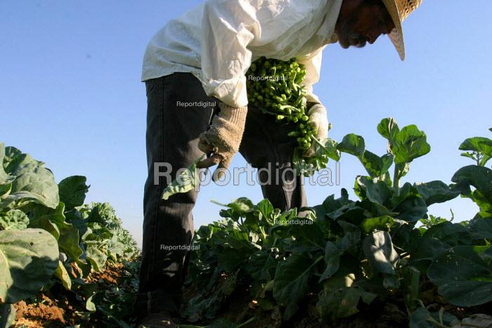 Everardo Lopez, a Mixtec farm worker from Ejutla de Crespo, Oaxaca, harvests gau choy yeh la, an Asian vegetable, near the town of Raisin City, outside of Fresno. California USA - David Bacon - 2006-09-06