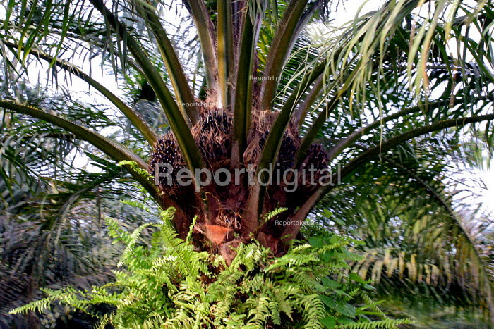 In this area near Tumaco, Afro Colombians have recovered part of their lands, and seek to force palm growers to give up the rest. Colombia - David Bacon - 2006-10-28