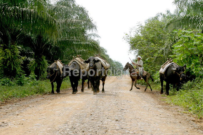 Water buffalo are used to carry the oil palm nuts from the groves to the roadway. In this area near Tumaco, Afro Colombians have recovered part of their lands, and seek to force palm growers to give up the rest. Colombia - David Bacon - 2006-10-28