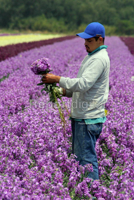 Flower pickers, Mexican migrant workers from Guanajuato, working in California USA - David Bacon - 2006-06-26