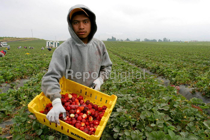 Crew of strawberry pickers, Mixtec Mexican migrants from Oaxaca, California USA - David Bacon - 2006-06-24