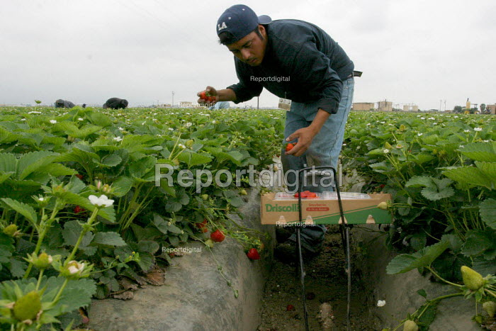 Strawberry workers in Oxnard, most of whom are migrants from the Mexican states of Oaxaca, Guerrero and Michoacan. California USA - David Bacon - 2006-05-20