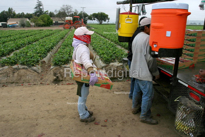 Guillermina Diaz, a Mixtec immigrant from Oaxaca, picks strawberries. She and her sister support three other family members, all of whom sleep and live in a single room in a house in Oxnard, where other migrant families also live. California USA - David Bacon - 2006-05-20
