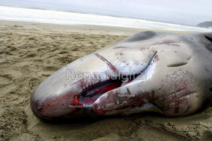 A newborn sperm whale beached itself not long after birth. The teeth are undeveloped, and its eyes have not yet opened completely. Increasing numbers of whales beach themselves for reasons which are not clear, but may be related to pollution from chemicals or noise from military sonar experiments. - David Bacon - 2004-11-26