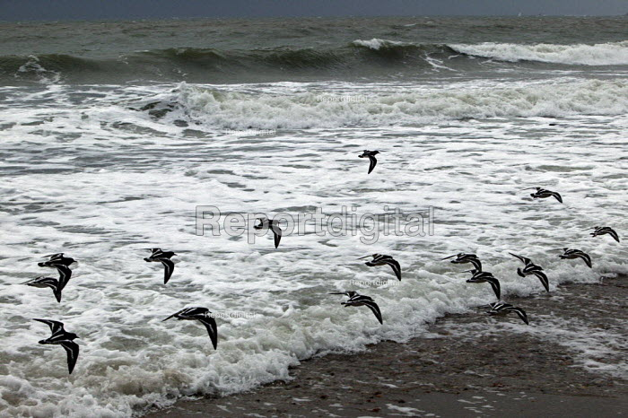 A flock of turnstones, small birds that live on the seashore, lifting up stones in search of food. Strong winter winds have caused the waves of the sea to swell creating a white blanket of froth which allows us to see their distinct pattern of the turnstones as they fly away - David Mansell - 2007-12-28