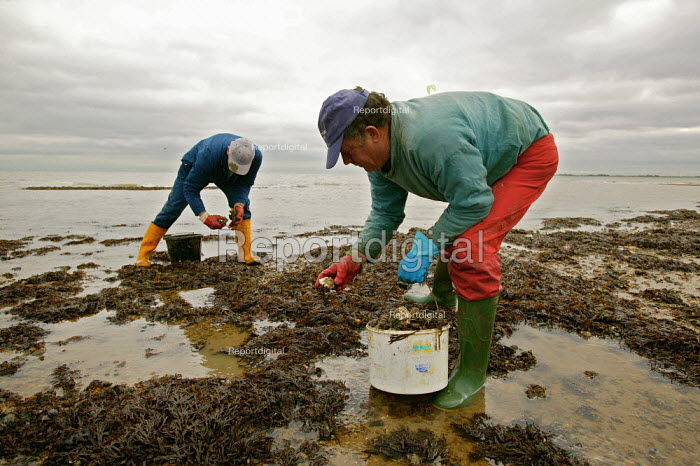 Local oyster fishermen, collecting young oysters so they can be placed into controlled areas of the creeks. This allows the oysters time to grow larger, ready to be sold onto the oyster bars and restaurants of West Mersea, Essex. - David Mansell - 2003-11-18