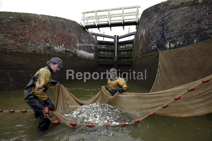 British Waterways personnel using a electric stunning device and a seine net to collect and remove abnormally large numbers of fish that have flourished undisturbed for many years from the side ponds of the famous Caen Hill lock flight. The ponds have become an ecological wasteland of mud and the removal of the large fish, which are damaging the ecosystem, will improve conditions for the aquatic wildlife. Wiltshire. - David Mansell - 2009-01-27