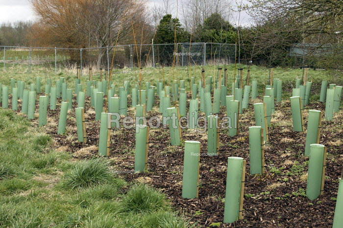 Tree planting carried out by the Environment Agency, part of a 2 million new flood defence scheme at Harnham, Salisbury, Wiltshire, to reduce the flood risk from the River Nadder to the village of Harnham. The green plastic tubes are placed over the young trees to give them some protection - David Mansell - 2009-03-26