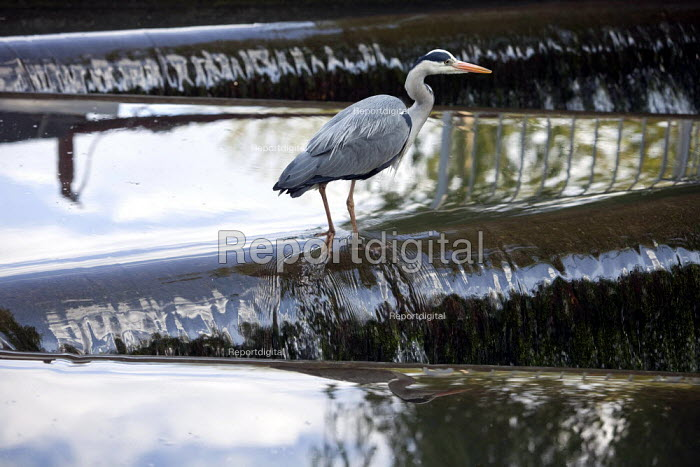 A Grey Heron (Ardea cinerea) fishing on the River Chess at Batchworth Lock, Rickmansworth, in Hertfordshire. - David Mansell - 2010-05-15