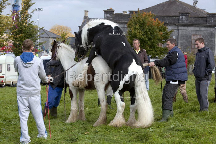 Country Fair Day, The Ballinasloe Horse Fair, County Galway, Ireland. The owner of the piebald stallion charges the owner of the mare for mounting with his stallion. Mares come into season during their oestrus cycle, which occurs in spring and summer and lasts about three weeks so mating at this time of year would seem pointless - David Mansell - 2012-09-29