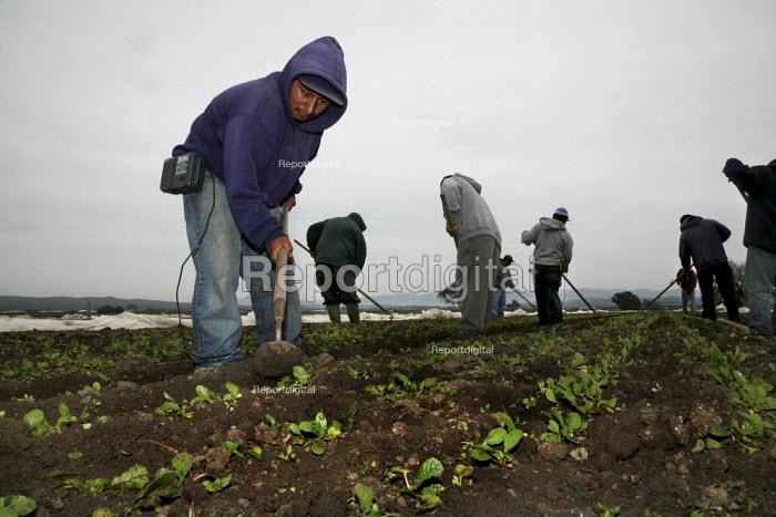 Triqui Mexican migrant farm workers thin radish plants in a field near San Juan Bautista, California, USA - David Bacon - 2009-02-21