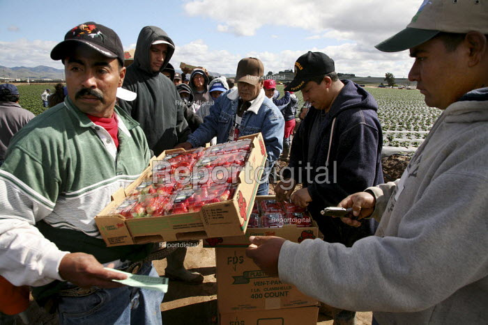Mixtec and Zapotec farm workers from Oaxaca and Guerrero pick strawberries The fruit will be marketed by Green Giant. Workers bring the strawberries theyve picked to the checker, who inspects the fruit and then punches a ticket that keeps track of the number of boxes the worker has picked. - David Bacon - 2009-02-16