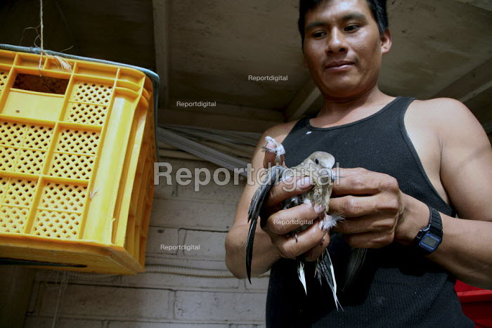Jose Domingo Cruz Morales holds a dove he's taken out of its cage in a yellow milk crate. A community of a few hundred migrant indigenous Mixtec farmworkers from Oaxaca live in Taft. Almost everyone comes from the town of San Pablo Tijaltepec. - David Bacon - 2009-06-12