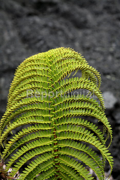 Plants growing in a solidified lava field. A fern in the Kau Desert in the southwestern area of the park, it is a large expanse of semi-arid lava plain. Big Island, Hawaii, USA. - David Bacon - 2010-02-16